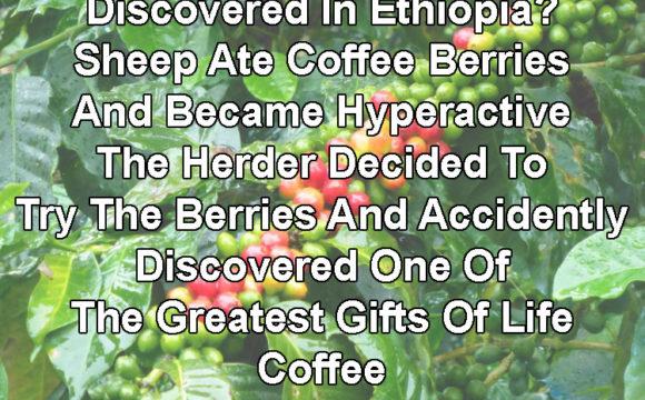 Ethiopian Sheep Go Bonkers On Coffee