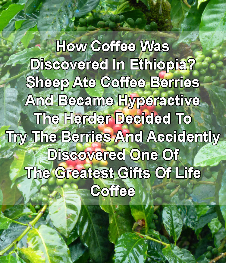 Ethiopian Sheep Go Bonkers On Coffee