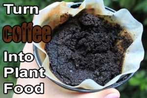 use coffee as plant food